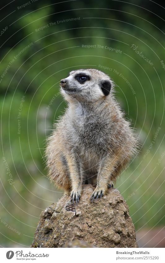 Close up portrait of one meerkat sitting on a rock Nature Animal Rock Wild animal Animal face Zoo 1 Stone Observe Small Cute Green Meerkat Side wildlife Africa