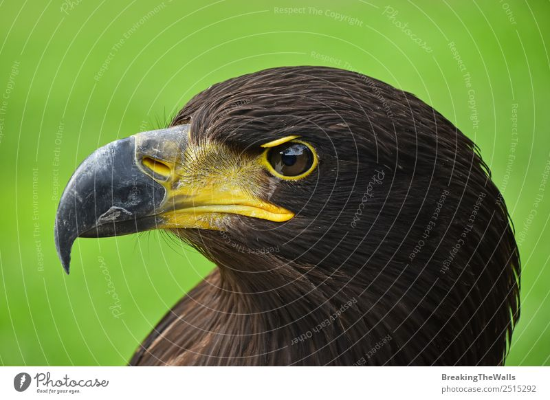 Close up profile portrait of one Golden eagle on green Nature Animal Grass Wild animal Bird Animal face Zoo 1 Observe Dark Brown Green Watchfulness Eagle