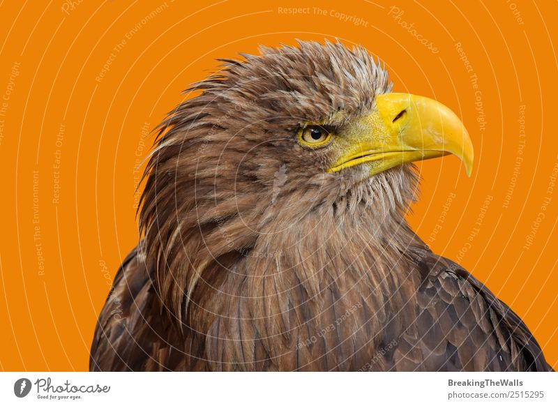 Close up profile portrait of one white-tailed sea eagle Nature Animal Wild animal Bird Animal face Zoo 1 Observe Large Brown Yellow White Watchfulness Eagle