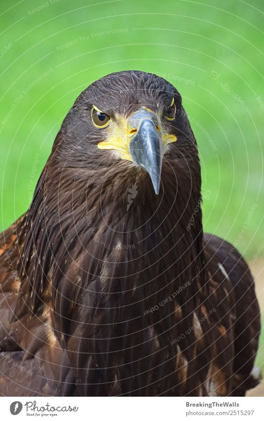 Close up front portrait of one Golden eagle looking at camera Nature Animal Summer Grass Wild animal Bird Animal face Zoo 1 Observe Dark Brown Green