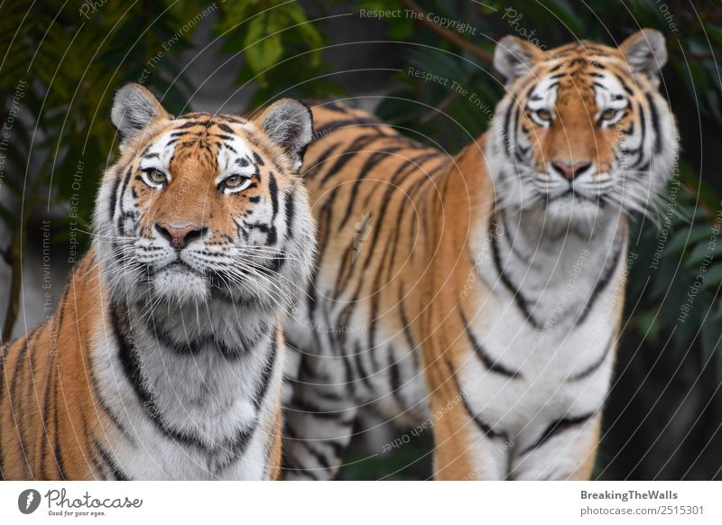 Close up two Siberian tigers looking into camera Nature Animal Summer Forest Wild animal Cat Animal face Zoo 2 Green Tiger panthera tigris altaica Snout Whisker
