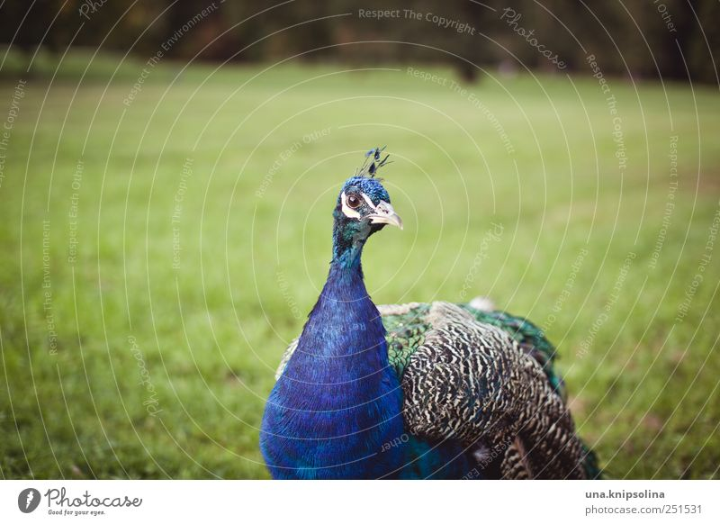 Nature Blue Animal Meadow Environment Park Bird Elegant Natural Wild animal Feather Wing Observe Pride Peacock