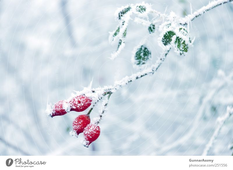 iceberries Nature Winter Ice Frost Plant Esthetic Fresh Cold Blue Green Red White Colour photo Exterior shot Detail Copy Space left Copy Space right