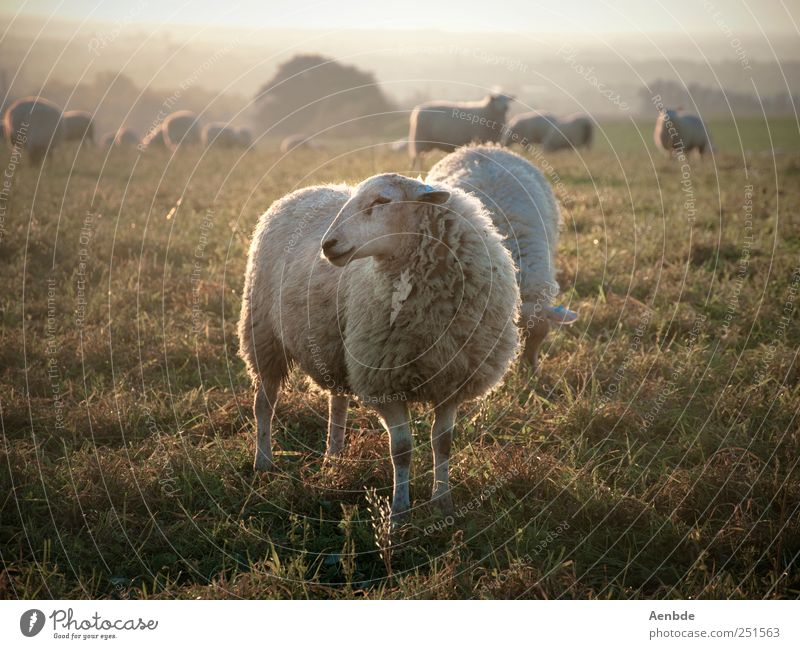 One should be a sheep... Nature Landscape Meadow Animal Farm animal Sheep Herd To feed Warm-heartedness Peaceful Subdued colour Exterior shot Evening Light