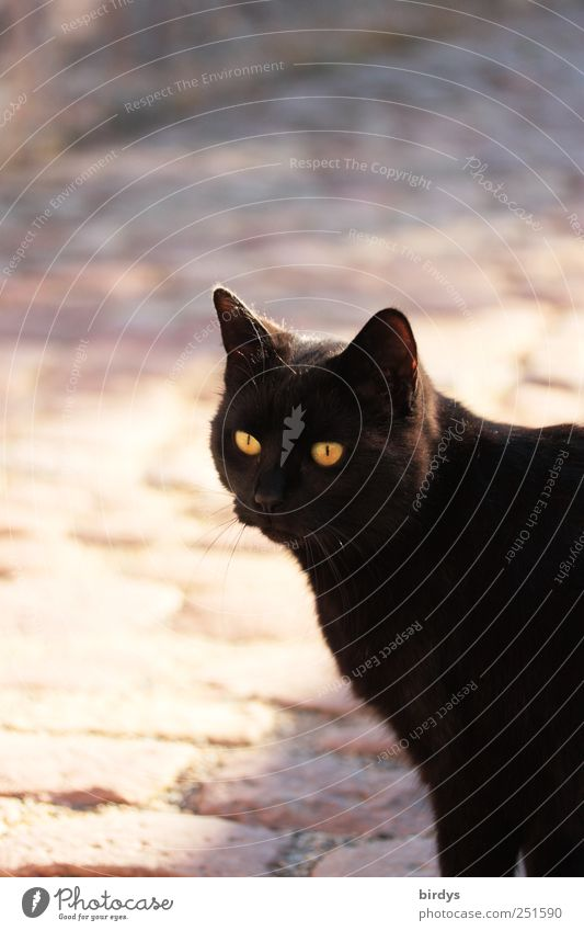 free spirit Pet Cat 1 Animal Glittering Illuminate Looking Esthetic Elegant Free Yellow Black Love of animals Curiosity Interest Friendship Cat eyes black fur