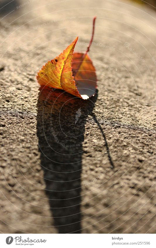 autumn impression Autumn Beautiful weather Leaf Faded Esthetic Loneliness Nature Change Shadow colorful leaf 1 Curved Stalk Autumnal colours Street