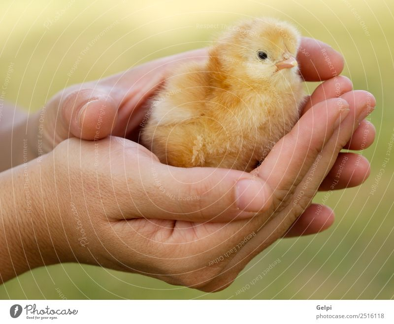 small chicken Life Easter Baby Arm Hand Fingers Animal Pet Bird Small New Cute Wild Soft Yellow young Chicken egg poultry holiday Farm palm Domestic Born spring