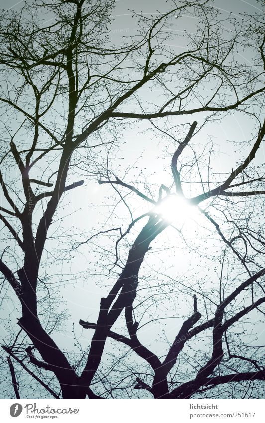 ramified Environment Nature Elements Sky Cloudless sky Sun Sunlight Autumn Beautiful weather Tree Blue Branched Reticular Leafless Bleak Tree trunk Back-light