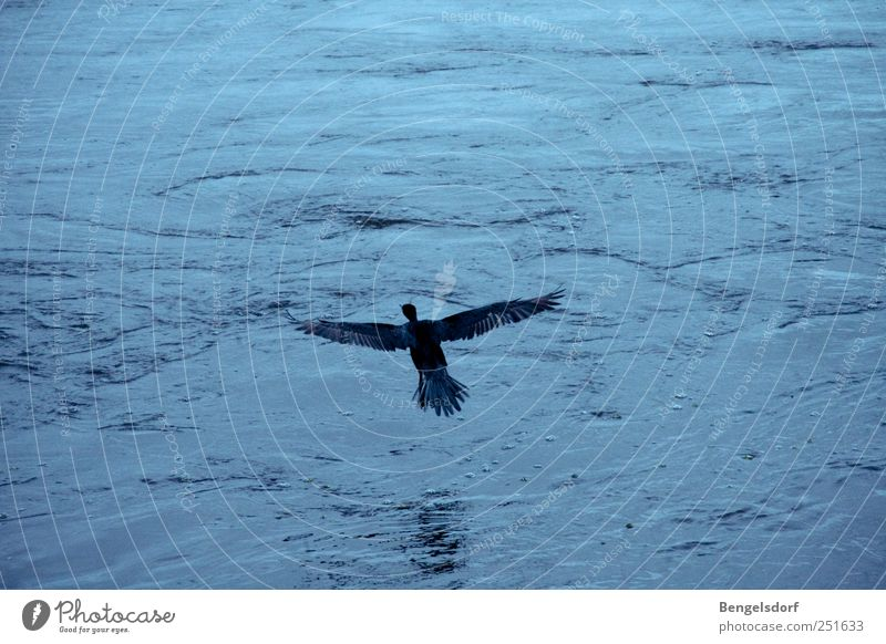 Water Blue Calm Animal Far-off places Freedom Waves Bird Flying Wing Feather Hover Duck