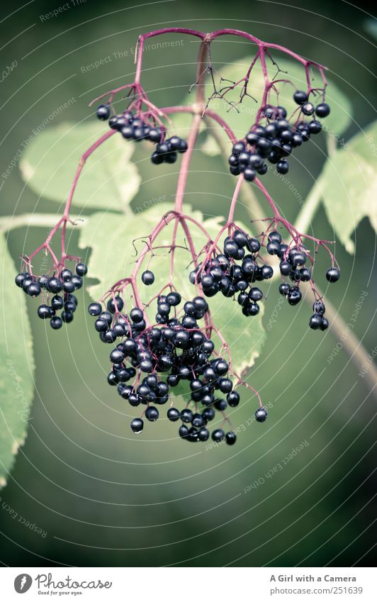 and then eaten Nature Plant Autumn Bushes Leaf Agricultural crop Wild plant Elder Elderberry Hang Carrying Simple Healthy Glittering Green Black Fruit
