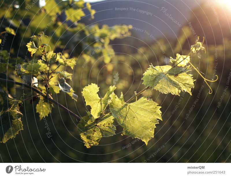 Nature Green Summer Environment Growth Vine Agriculture Alcoholic drinks Grape harvest Vineyard Breed Italian Wine growing Abstract