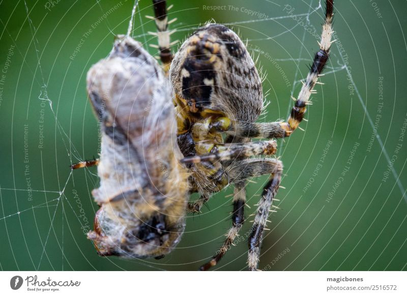 Common garden spider (Araneus diadematus) eating a wasp Animal arachnid background Bee Brown Bug Close Close-up Colour Garden Green Insect macro Natural Nature