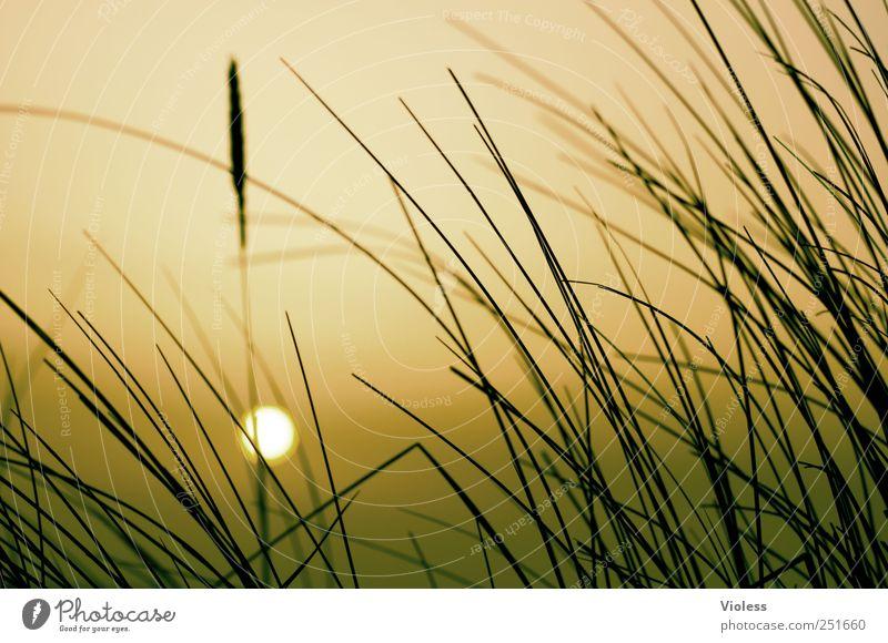 Spiekeroog. ...sunset. Nature Plant North Sea Relaxation To enjoy Romance Marram grass Sun Orange Colour photo Exterior shot Evening Sunrise Sunset