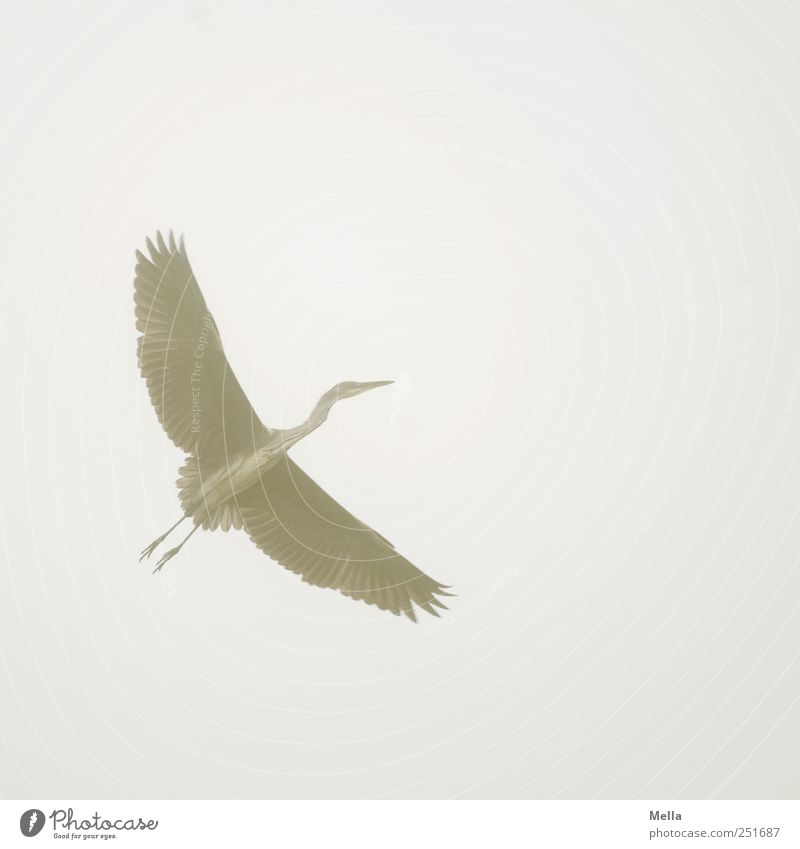 outlaw Environment Nature Animal Air Fog Bird Wing Heron Grey heron Feather Plumed 1 Flying Esthetic Free Bright Natural Gray Freedom Colour photo Exterior shot