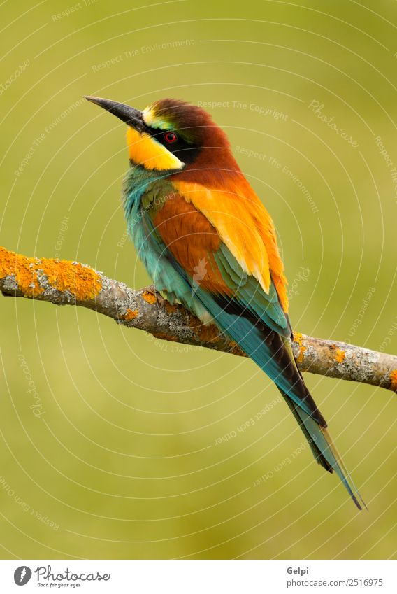 colorful bird Exotic Beautiful Freedom Nature Animal Bird Bee Glittering Feeding Bright Wild Blue Yellow Green Red White Colour wildlife bee-eater apiaster