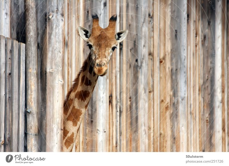 Animal Wood Cool (slang) Cute Curiosity Zoo Surprise Ask Giraffe Question mark