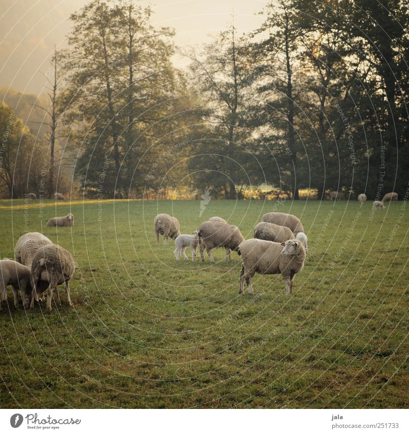 CHAMANSÜLZ | sheep in the pasture II Environment Nature Landscape Plant Animal Sky Autumn Tree Grass Bushes Meadow Farm animal Sheep Group of animals Herd