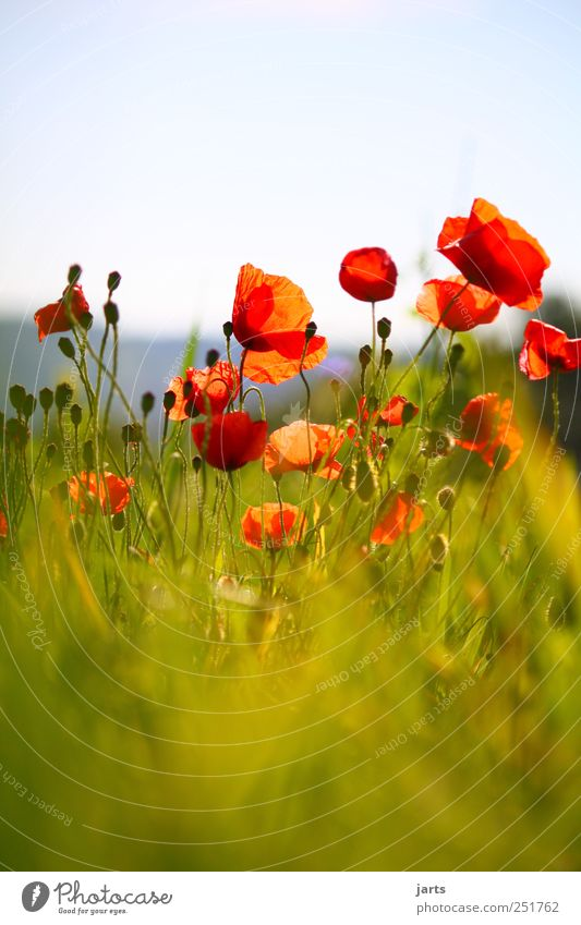 splotch of paint Nature Plant Blossom Wild plant Field Natural Red Colour Poppy Colour photo Exterior shot Deserted Copy Space top Copy Space bottom Day