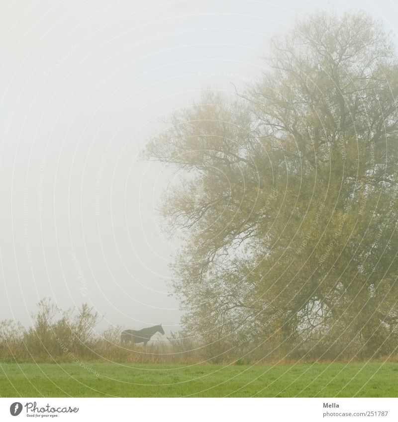 morning horse Environment Nature Fog Tree Meadow Animal Horse 1 Stand Gray Green Serene Calm Stagnating Time Pasture Colour photo Exterior shot Deserted