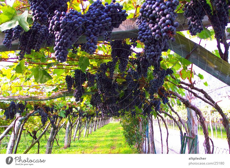 Vine Harvest Agriculture Fruit Bunch of grapes Vineyard Wine growing