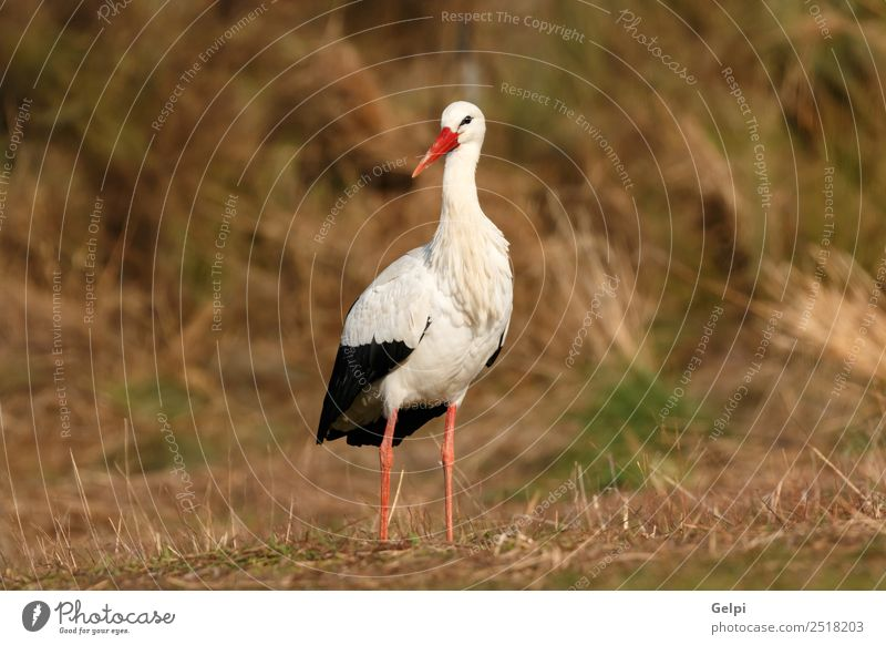 Elegant white stork walking in the field Nature Blue Beautiful Colour Green White Flower Red Animal Black Adults Grass Couple Freedom Bird Flying