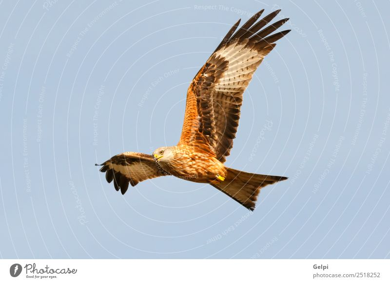 Awesome bird of prey in flight Nature Animal Sky Bird Wing Flying Speed Wild Blue Gold White wildlife raptor predator kite Story sunny Feather Prey Red kite