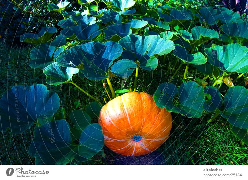 Nature Leaf Garden Growth Vegetable Pumpkin Maturing time