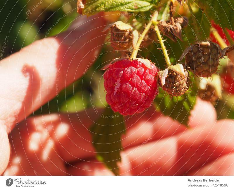 harvest raspberries Fruit Organic produce Vegetarian diet Diet Healthy Eating Delicious Sweet Raspberry Harvest Garden Hand Close-up Sun Summer Fruity Red