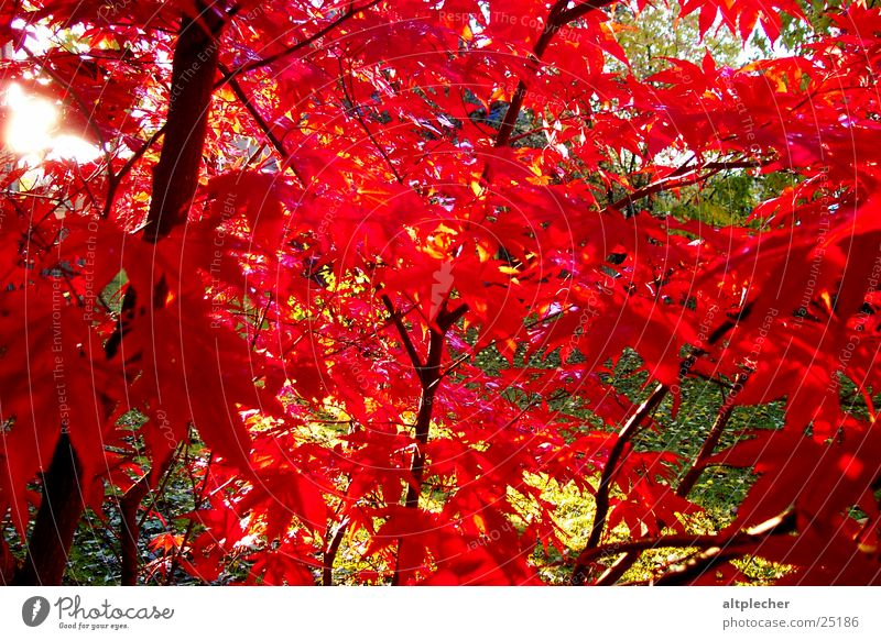 Nature Tree Red Garden Maple tree