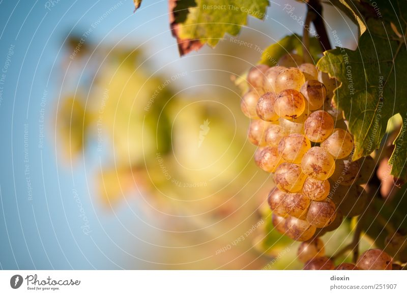 Late Harvest [1] Alcoholic drinks Sparkling wine Prosecco Champagne Grape harvest Agriculture Forestry Sky Cloudless sky Autumn Beautiful weather Plant Leaf