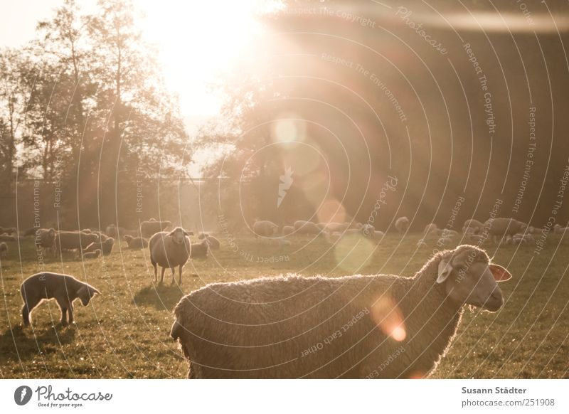 [CHAMANSÜLZ 2011] Good morning, sun! Meadow Field Farm animal Wild animal Group of animals Herd To enjoy Sunrise Lens flare Sheep Flock Lamb's wool Tree Sunbeam