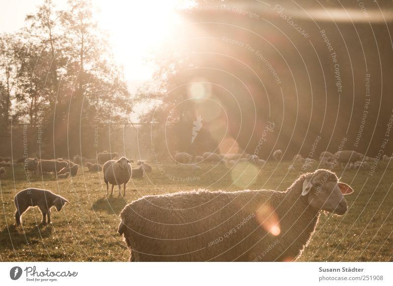 Tree Sun Meadow Field Wild animal Group of animals Sheep To enjoy Herd Farm animal Lamb Lens flare Flock Animal Lamb's wool