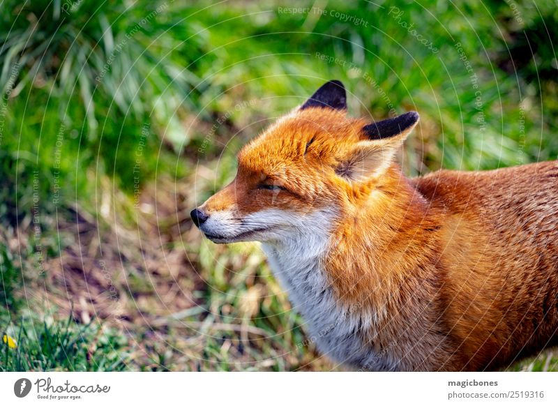 European Red Fox Nature Animal Forest Wild animal Stand alert background British Carnivore England european red fox fauna Mammal Native nocturnal peaceful