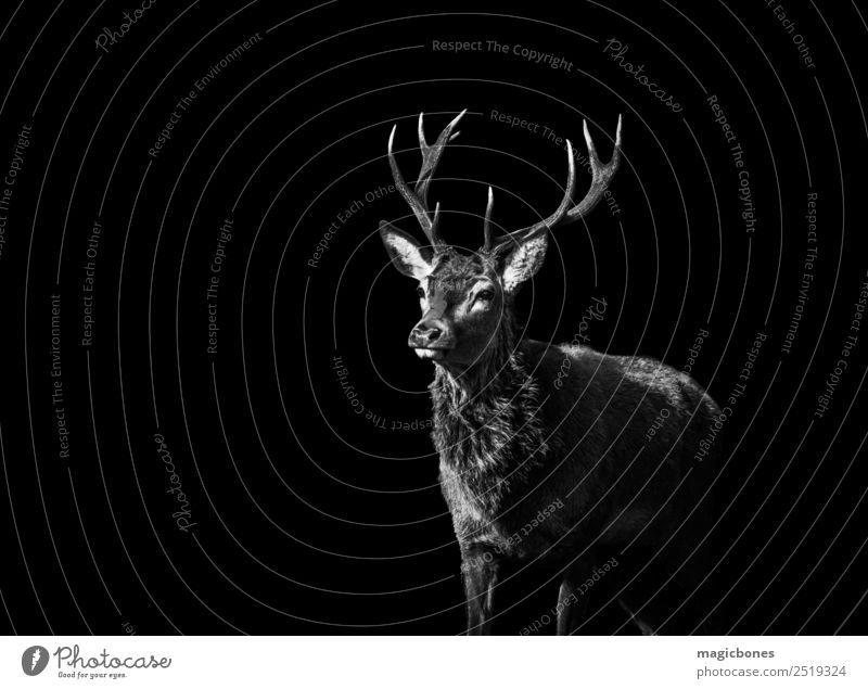 A wild Red Deer stag, Cervus elaphus, isolated on a black background stag deer red deer antlers black and white wild deer richmond park england europe