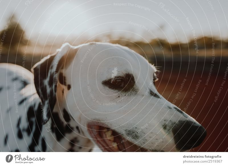 Dalmatian at sunset Sun Sunrise Sunset Sunlight Summer Animal Pet Dog 1 Looking Esthetic Authentic Friendliness Joy Happy Happiness Joie de vivre (Vitality)