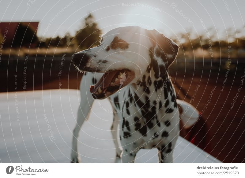 Dalmatian at sunset Sun Sunrise Sunset Sunlight Summer Beautiful weather Animal Pet Dog 1 Observe Discover Stand Wait Uniqueness Natural Curiosity Cute