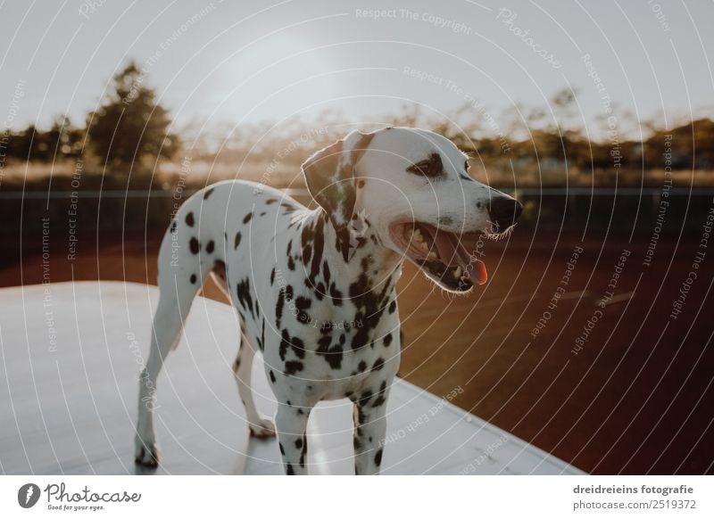 Dalmatian at sunset Sunrise Sunset Sunlight Summer Beautiful weather Animal Pet Dog 1 Stand Wait Esthetic Friendliness Natural Curiosity Cute Interest