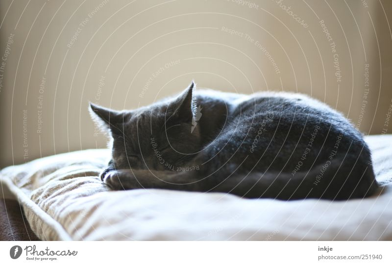 morning, noon, evening Living or residing Flat (apartment) Sofa Living room Cushion Pet Cat Domestic cat 1 Animal Baby animal Relaxation Lie Sleep Dream Cuddly
