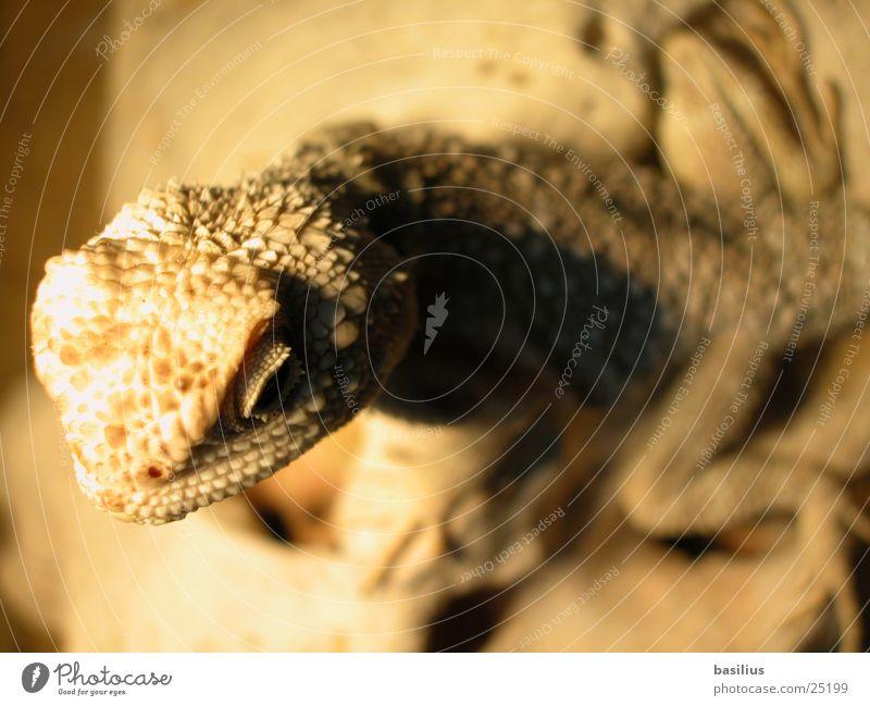 bearded Saurians Beige Salamander Transport