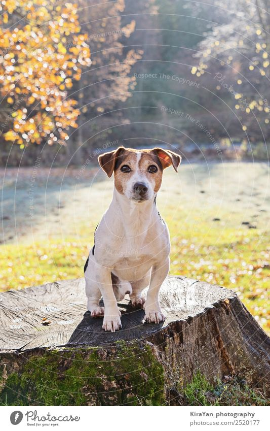 Adorable jack russell terrier dog sitting on old stump Nature Dog Red Animal Leaf Forest Adults Yellow Autumn Funny Happy Grass Playing Brown