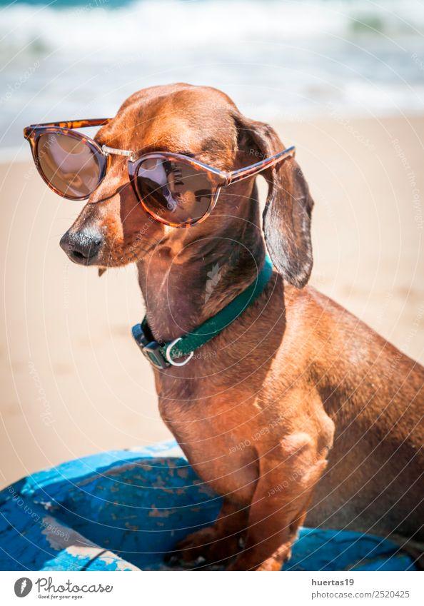 teckel dog on the beach Vacation & Travel Dog Summer Blue Beautiful Sun Animal Beach Funny Friendship Watercraft Friendliness Pet Mammal Sunglasses Blue sky