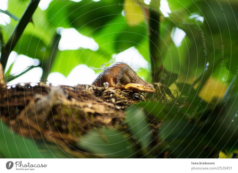 Blackbird chick in a hidden nest Life Summer Nature Spring Plant Tree Rose Garden Animal Bird 1 Baby animal Feeding Scream Yellow Considerate Nest blackbird