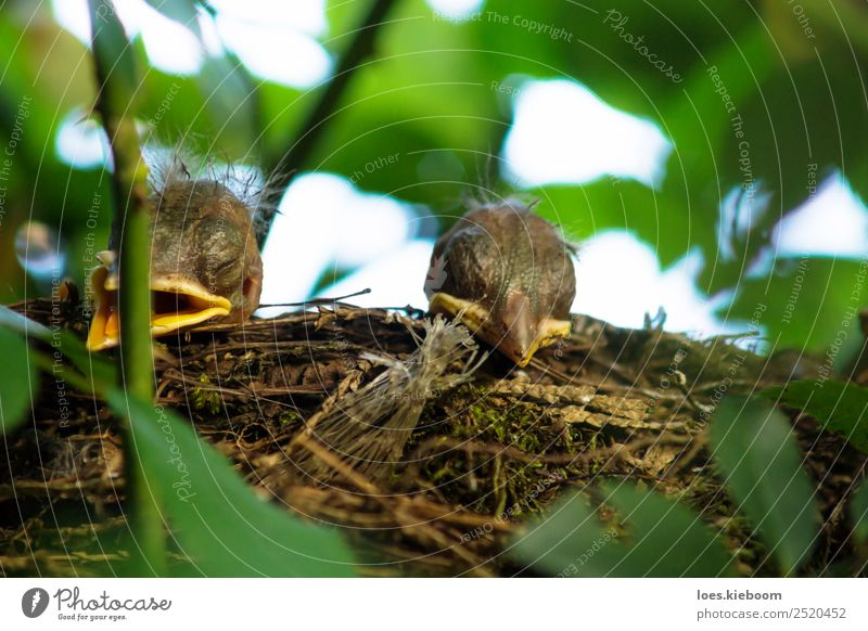 Two Blackbird chicks in a hidden nest Life Summer Nature Plant Rose Animal Bird 2 Baby animal Feeding Brown Yellow Green Considerate Nest blackbird hungry Wild
