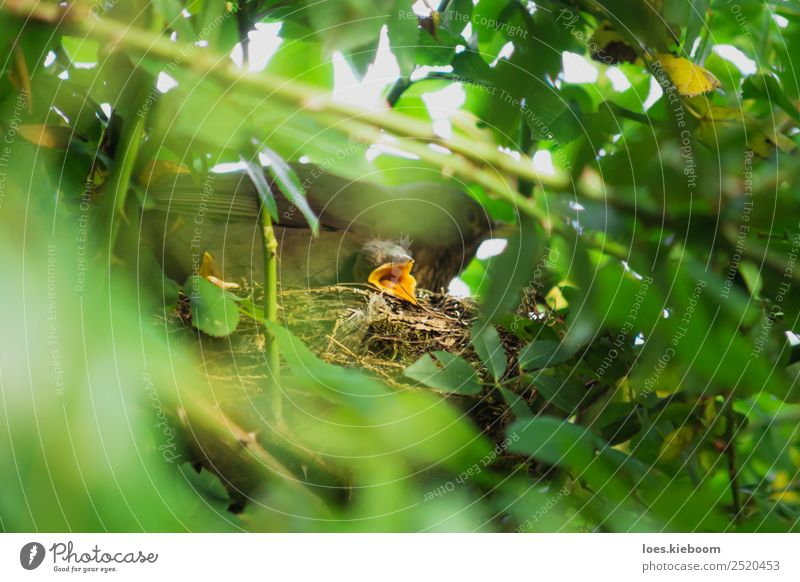 Two Blackbird chicks in a hidden nest with mother on top Life Summer Baby Family & Relations Nature Animal Bird 3 Baby animal Animal family Feeding Brown Yellow