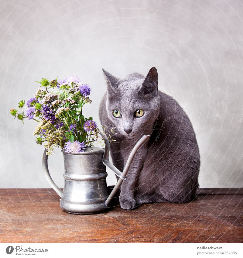 Still life with cat Interior design Decoration Plant Flower Wild plant Meadow flower Animal Pet Cat russian blue Short-haired 1 Watering can Observe Blossoming