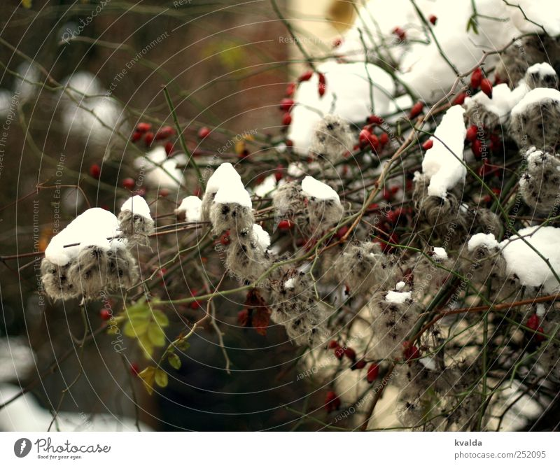 Nature White Green Plant Red Leaf Winter Cold Snow Gray Contentment Bushes Frost Branch December February