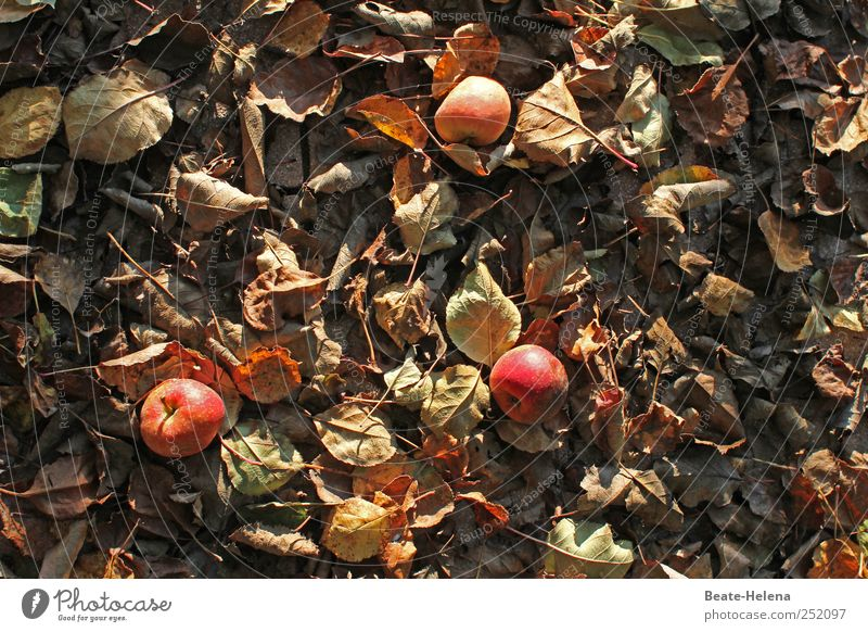 Nature Red Leaf Autumn Brown Field Growth Nutrition To fall To hold on Harvest Apple Fragrance Autumn leaves Select Apple harvest