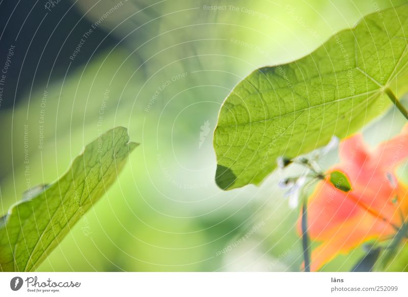 encounter Environment Plant Leaf Blossom Garden Touch Blossoming Green Nasturtium Colour photo Exterior shot Copy Space top Day Contrast Shallow depth of field