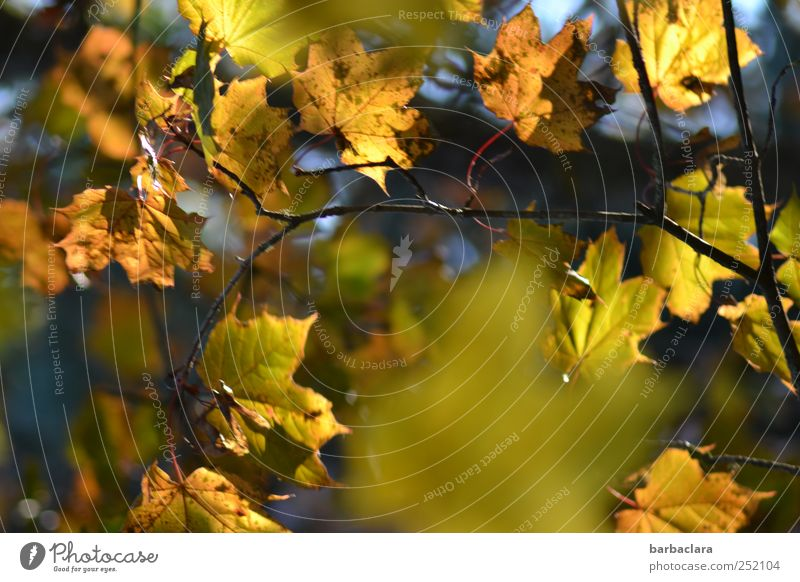Autumn leaves Tree Leaf Hang Illuminate Many Blue Brown Yellow Gold Green Colour Moody Colour photo Exterior shot Deserted Day Light Sunlight