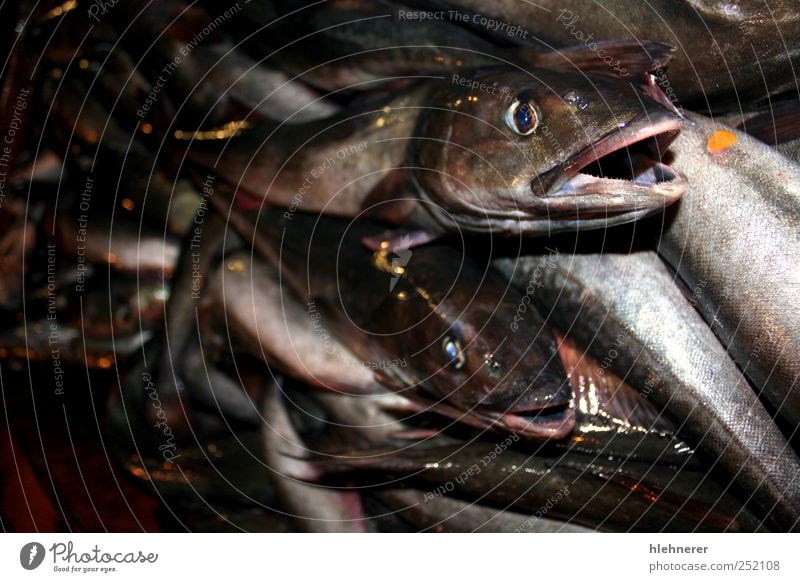 Fish Catch Food Seafood Lunch Dinner Fishing (Angle) Ocean Industry Nature Animal Fresh Large Death fish catch Fin silver market raw healthy head eye tail